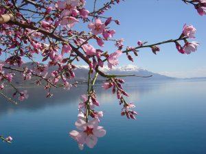 Lac du Bourget avec fleurs au premier plan